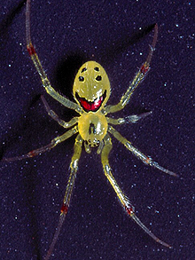 Happy Face Spider (pic from CATERS NEWS)
