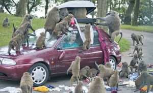 Baboons in the UK's Knowsley Safari Park unpacking a visitor's suitcase on the roof rack